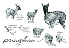 Field sketches of a pronghorn and her fawns