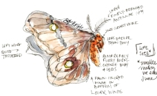 Field illustrations of a polyphemus moth