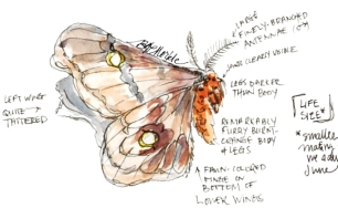 Field illustrations of a polyphemus moth