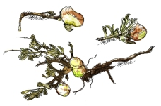 Galls, caused by a midge fly, which grow on sagebrush