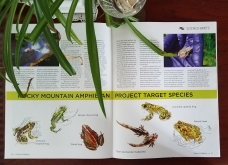 "Amphibious Citizen Scientists illustrations and article, commissioned by ""Western Confluence"" magazine"